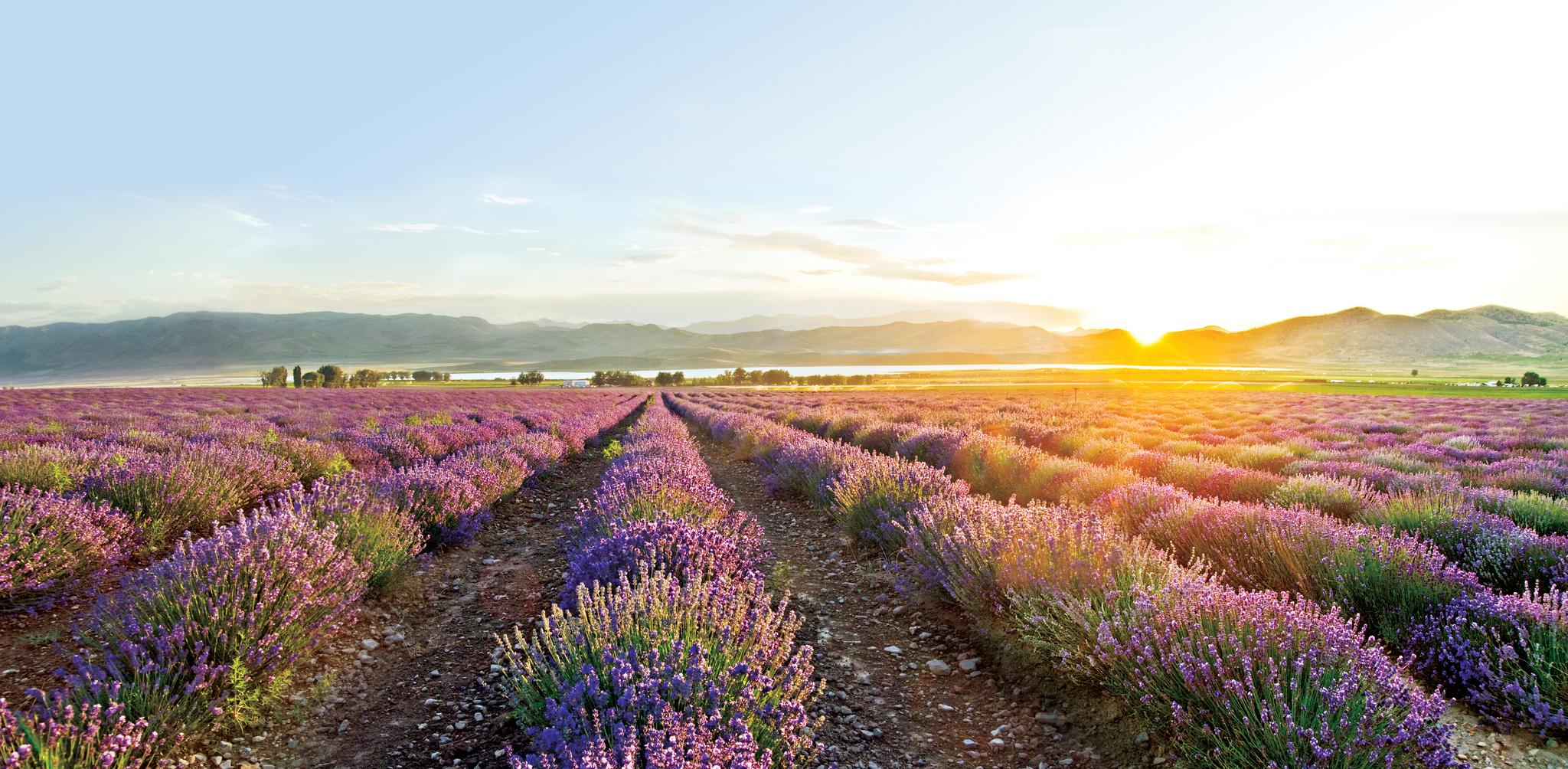 Young Living Lavendel Feld